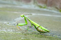 Praying Mantis Royalty Free Stock Images - 28335769