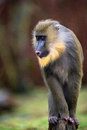 Mandrill Royalty Free Stock Photo - 28336195