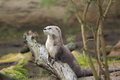 Northern River Otter Stock Images - 28343614