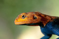 Red-Headed Rock Agama Close Up Stock Photos - 28353163