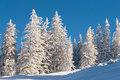 Pine Trees In Snow With Blue Sky Royalty Free Stock Image - 28353296