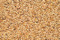 Malted Barley Royalty Free Stock Image - 28367336