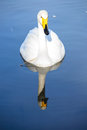 Wild Swan Royalty Free Stock Images - 28382209