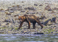 Grizzly Bear Walking On A Sea Shore In Glacier Bay National Park Royalty Free Stock Photography - 28384527