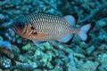 Shadow Soldierfish Royalty Free Stock Photos - 28388428
