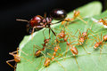 Red Ants Army Stock Photo - 28391500