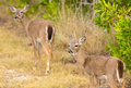 Small Key Deer In Woods Florida Keys Stock Photos - 28392793