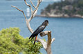 Red Tailed Black Cockatoo Stock Photo - 28395670