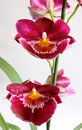 Miltoniopsis Orchid Royalty Free Stock Photography - 2845647
