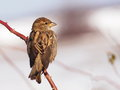 Sparrow On Branch Stock Photography - 28402132