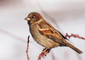 Sparrow On Branch Stock Photography - 28402242