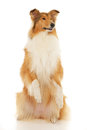 Rough Collie Dog Stock Image - 28419131