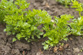 Parsley Stock Images - 28420894