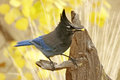 Steller S Jay Royalty Free Stock Photography - 28421197