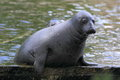 Grey Seal Stock Photography - 28422802