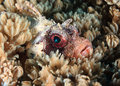Starburst Off The Eye Of A Dwarf Lionfish Hidden Amongst Soft Co Royalty Free Stock Photography - 28425357