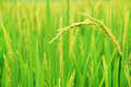Paddy Fields Royalty Free Stock Image - 28431816