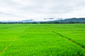 Paddy Rice Fields Royalty Free Stock Photography - 28463617