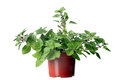 Oregano Herb Plant Growing In The  Pot Stock Images - 28469844