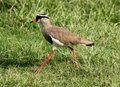 Crowned Plover Lapwing Bird Walking Stock Images - 28474754