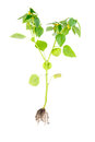 Physalis With Flower,bud,lantern And Root Isolated On White Background Stock Photo - 28475500