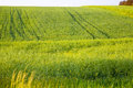 Barley Field Royalty Free Stock Photo - 28501085