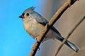 Tufted Titmouse Stock Images - 28503784