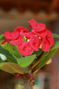 Red Flowers Poi Sian Royalty Free Stock Photos - 28506998