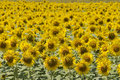 Field Of Sunflowers Royalty Free Stock Photography - 28510817
