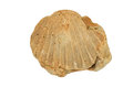 Fossil Shell Royalty Free Stock Photo - 28524125