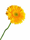 Yellow Gerbera Stock Photography - 28532832