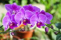 Orchid Royalty Free Stock Photo - 28532985