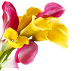 Bunch Of Yellow And Pink Cala Lilies Stock Photo - 28534170