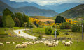 Sheep In New Zealand. Royalty Free Stock Photo - 28549085