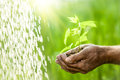 Old Man Hands Holding A Green Young Plant Royalty Free Stock Images - 28552949