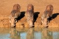Warthogs Drinking Royalty Free Stock Image - 28581676