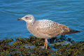 Herring Gull Royalty Free Stock Images - 28585819