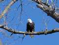 Bald Eagle Royalty Free Stock Photography - 2863527