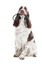 Springer Spaniel Dog Holding A Leash In Its Mouth Royalty Free Stock Image - 28602156