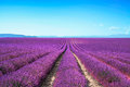 Lavender Flower Blooming Fields Endless Rows. Valensole Provence Royalty Free Stock Photo - 28607585