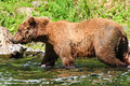 Alaska Brown Grizzly Bear All Wet Royalty Free Stock Images - 28607829
