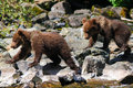 Alaska Brown Grizzly Bear Cub Twins Royalty Free Stock Photos - 28607858