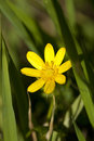 Buttercup Royalty Free Stock Image - 28608876