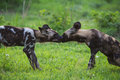 African Wild Dog Royalty Free Stock Images - 28609239