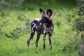 African Wild Dog Royalty Free Stock Images - 28609269