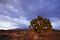 Jushua Tree And Desert Sunset Stock Image - 28611891