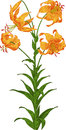 Orange Lily. Vector Royalty Free Stock Image - 28627686