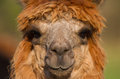 Alpaca Brown And Female Royalty Free Stock Photography - 28632507