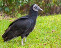American Black Vulture Royalty Free Stock Images - 28648489
