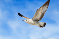 Flying Seagull Royalty Free Stock Image - 28649586